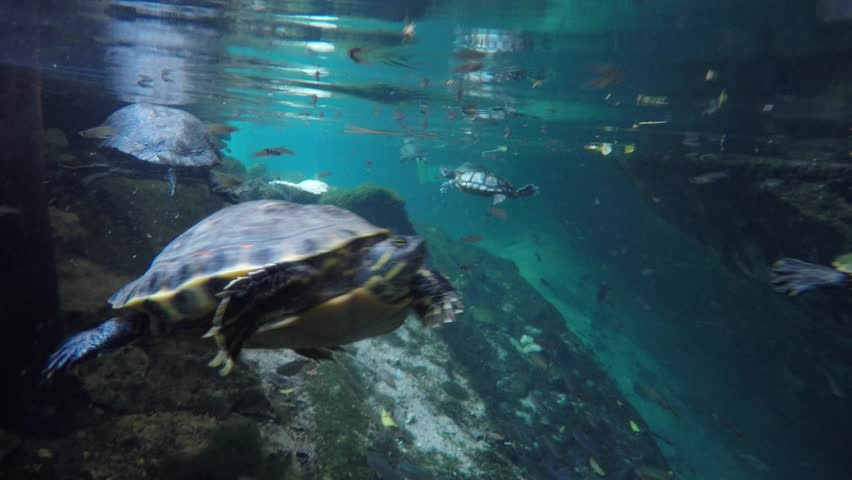 Turtles swim in the freshwater of a cenote well in Mexico.