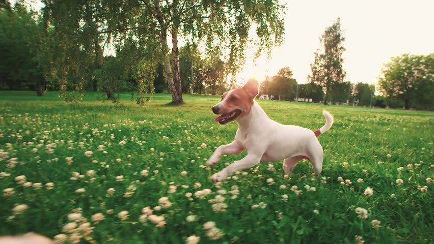 Jack Russell Terrier dog next to a girl happily running through the grass in the nature Park, slow motion,sunset time