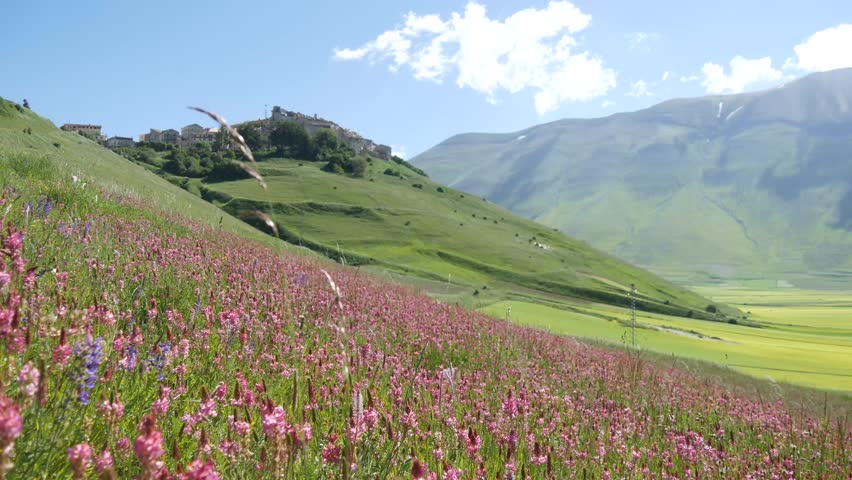 a blossoming field of red lentils in Castelluccio of Norcia,  Umbria, Italy.