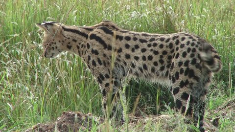 serval cat jumps on a prey he is hunting.