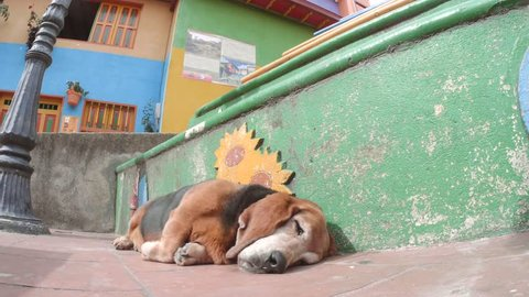 Older basset hound sleep on the colorful streets of Guatape, Colombia. 4k