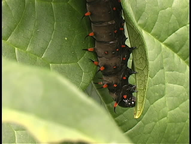 Caterpillar eats leaf
