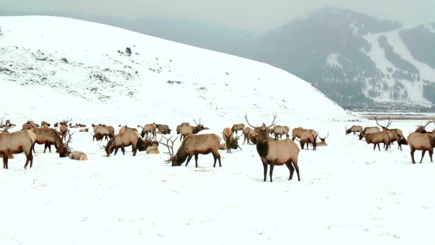 Moose resting in the snow at yosemite