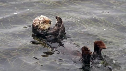 An Endangered Sea Otter sleeps (and defecates) in the kelp of the Pacific Ocean (California).