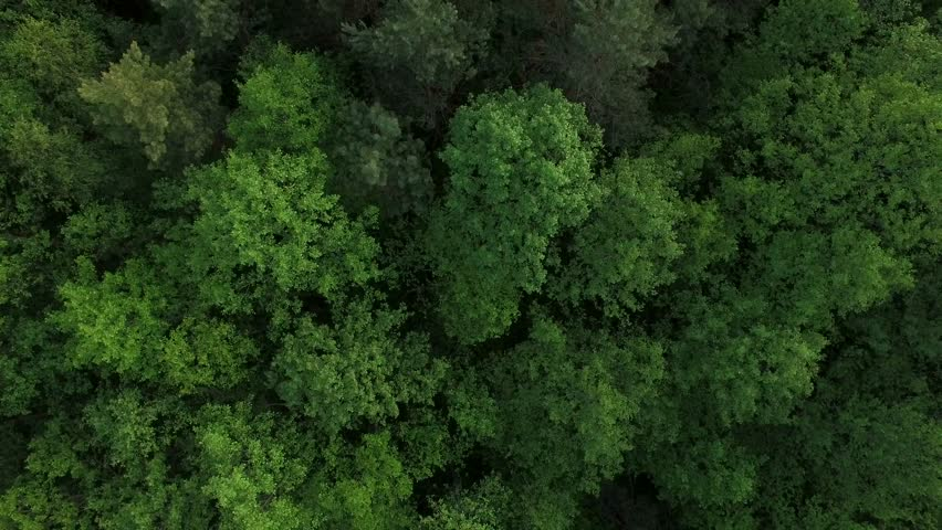 4K HD Aerial view camera moves rising up from green forest of dense mixed tree tops of pine trees and birches