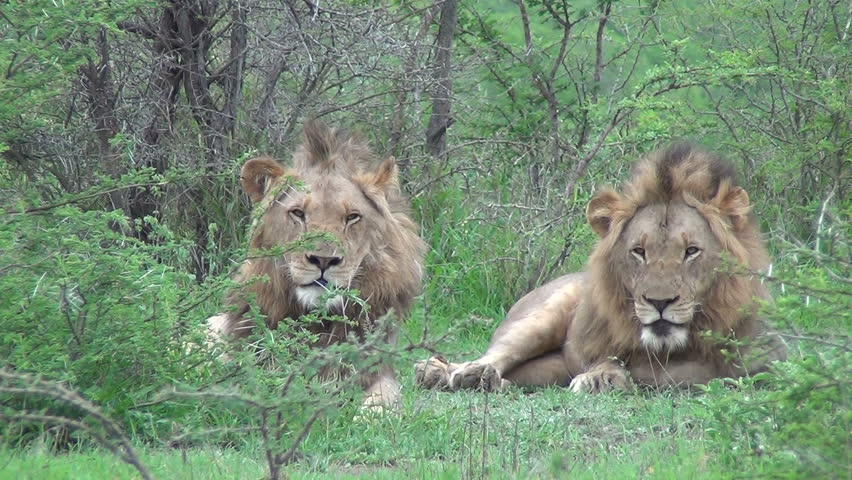 2 male lions looking at camera