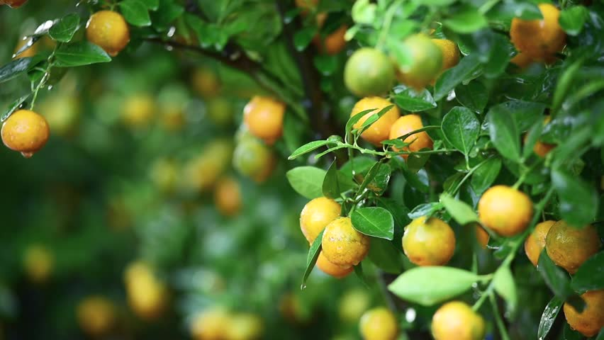 kumquat trees for sale before tet vietnamese new year hd stock footage clip