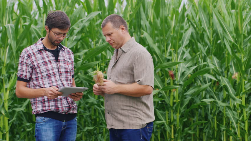 Two farmers working near the cornfield. Take a look at the tablet, studying ear of corn