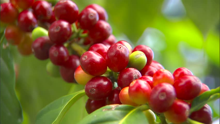 Coffee cherries on branch