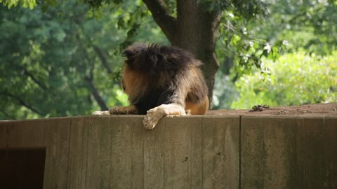 A lion lying down looks around his surroundings