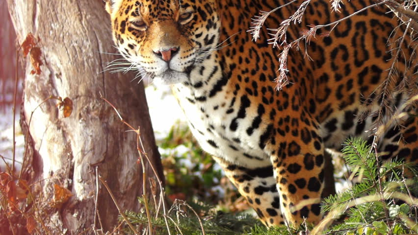 graceful jaguar