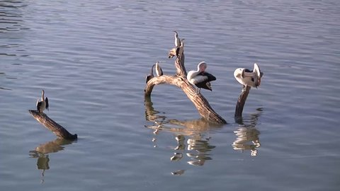Pelicans at the Mildura weir near Lock 11 on the Murray river in late afternoon.