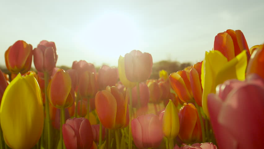 CLOSE UP, SLOW MOTION, DOF: Amazing red, yellow and orange tulips blooming at beautiful local touristic park on early sunny evening. Lovely tulip flowers blossoming on big garden on late sunny morning