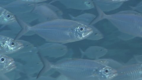 Oxeye scad swimming and schooling, Selar boops HD, UP27265