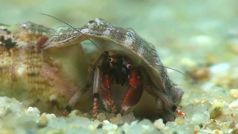 Costa Brava, diving the Mediterranean sea, Hermit crab, Spain