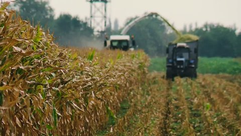 Mechanical Harvesting of a Forage Harvester Corn Fields for Silage. The harvester Moves through a Field of Yellow and Pours the Crushed Plant in a Tractor Trailer