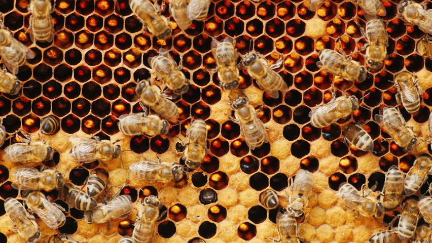 Bees work on honeycomb with honey, some cells already closed
