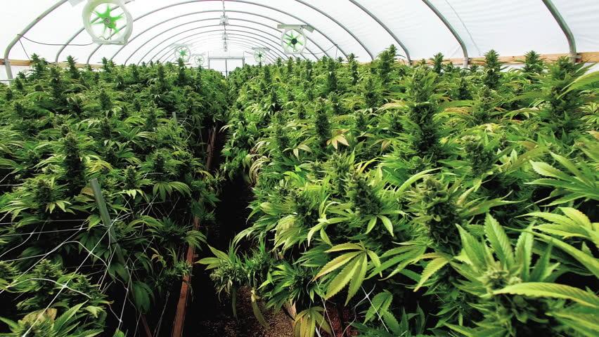 Budding Marijuana Plants Stabilized Panning Shot Inside Grow Tent
