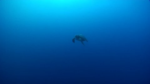 Galapagos green turtle swimming in bluewater, Chelonia mydas agassisi HD, UP21390