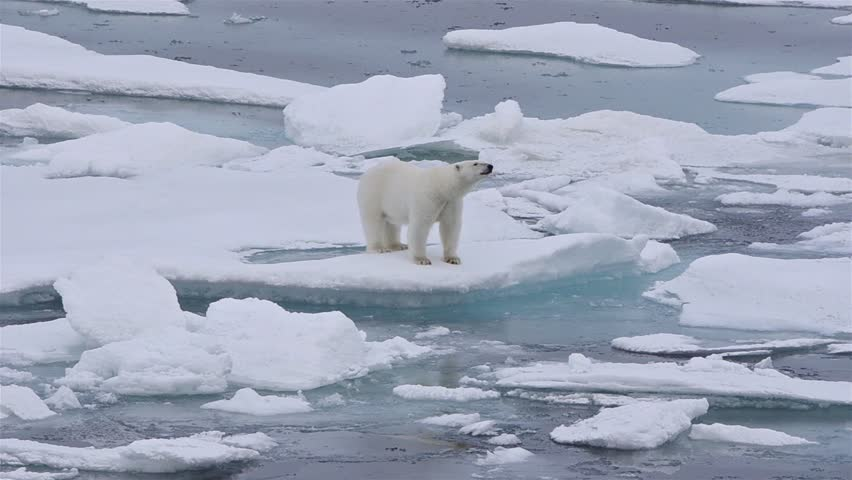 Polar bear sow and cub on the sea ice in Polar Bear Pass north off Baffin Island in Nunavut, Canada. (Nunavut, Canada 2010s)