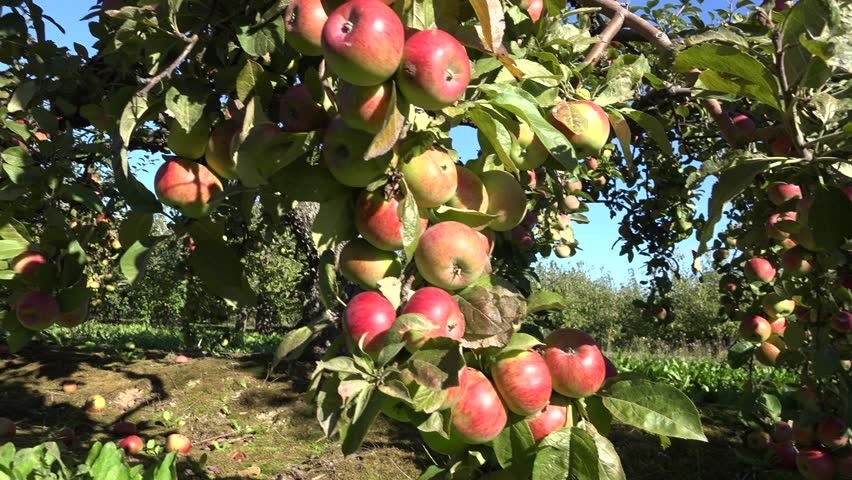 Image result for mustang apple garden