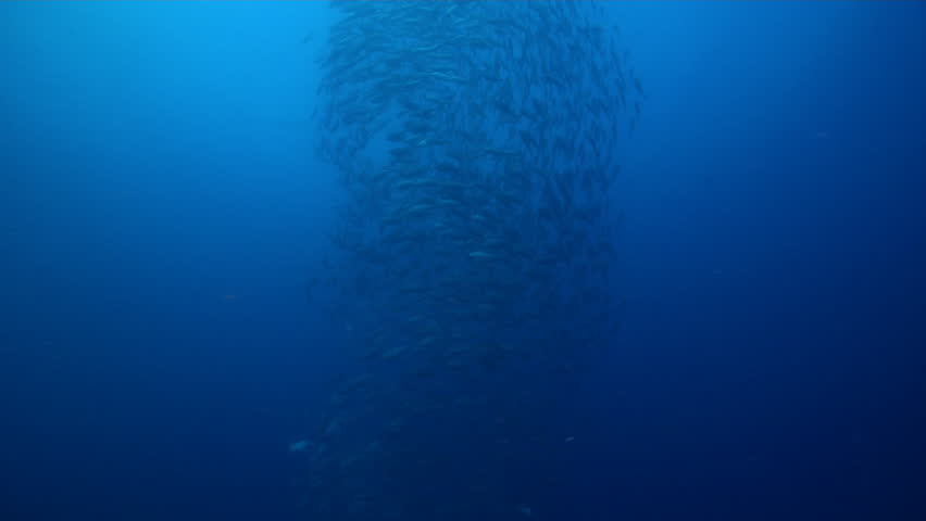 Bigeye trevally swimming and schooling on lagoon World War II wreck, Caranx sexfasciatus HD, UP33634