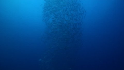 Bigeye trevally swimming and schooling on lagoon World War II wreck, Caranx sexfasciatus HD, UP33634