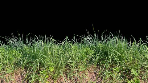 Beautiful low tiled panorama grass, real shot green plant blowing on the wind, isolated on alpha channel with black white luminance matte, perfect for film, digital composition, projection mapping