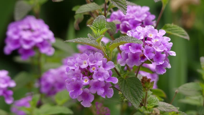 Lantana Montevidensis Is A Species Stock Footage Video 100