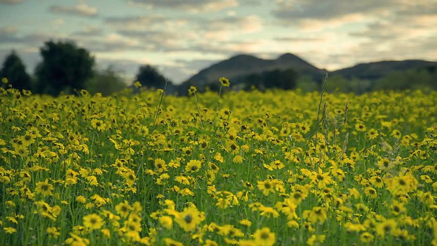 Establishing Shot - Wild Flowers in Figgate Park Overlooking Arthur's Seat