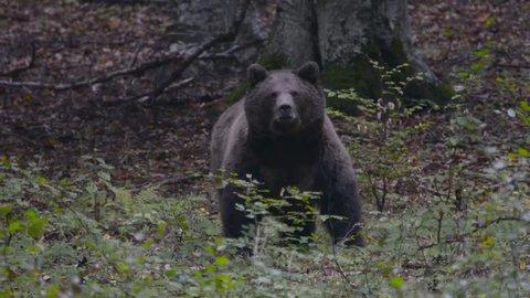 Brown bear seeking food in the woods