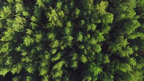 Flying over a vast lush green pine and spruce tree tops in the forest. Aerial view
