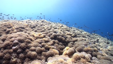 Ocean scenery pans 180 degrees from surface to deep, one huge colony, on shallow coral reef, HD, UP29534