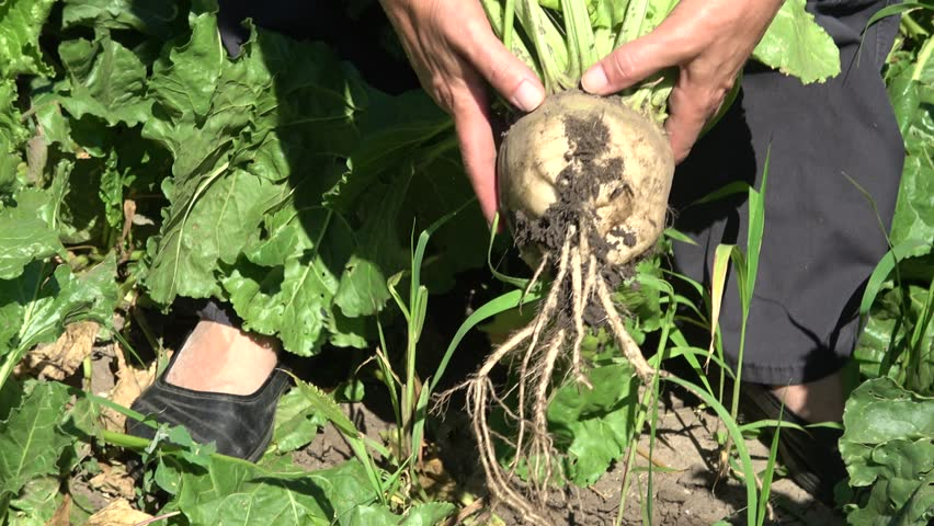 extracting from the land of sugar beet plants,Handheld camera Balanced Steady shot