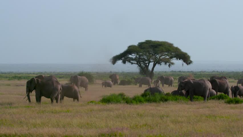 Herd Of African Elephants Grazing; Amboseli Kenya Africa