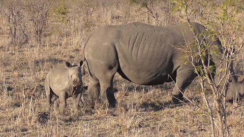 rhino and her calf walking and eating grass in the savannah of kruger national park in south africa