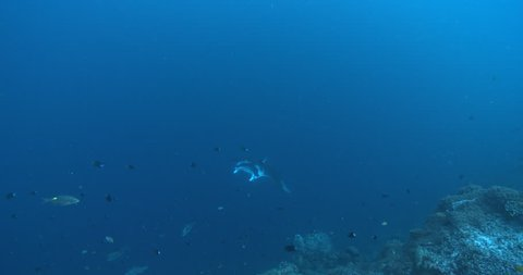 Reef manta ray swimming on coral reef, Manta alfredi 4K UltraHD, UP36105