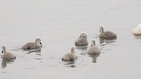 swan cygnets swimming in the lake