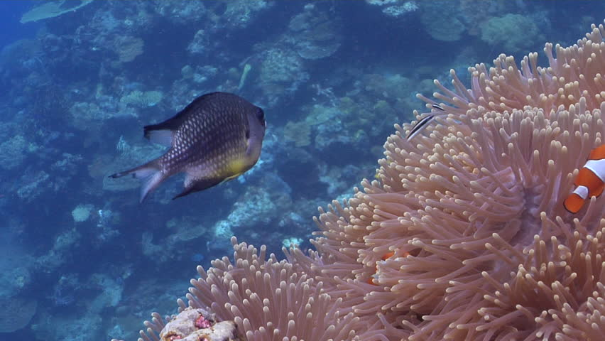 Clownfish swimming on shallow coral reef, Amphiprion percula HD, UP29147