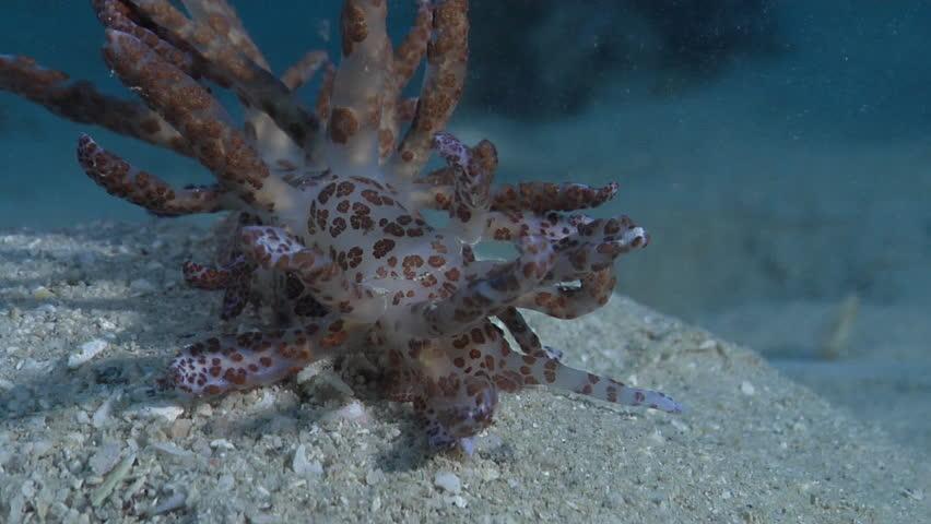 Solar powered slug sniffing on silty inshore reef, Phyllodesmium longicirrum HD, UP28756