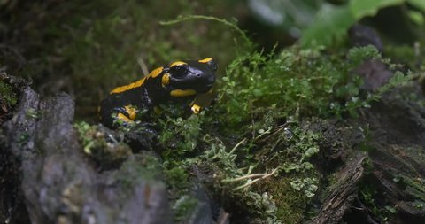 Yellow and Black Salamander Waiting For Prey in the Forest. Around Salamanders Moss and Bark.salamander Peeping From Behind Plants