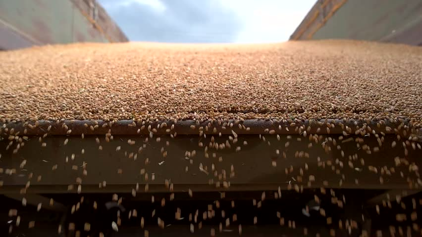 Yellow grain falling in slow-mo. Lots of grains. Harvest of barley. Profitable season for agricultural company. | Shutterstock HD Video #19372903