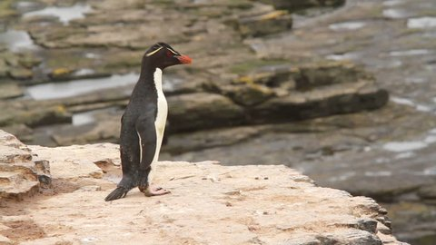 Rockhopper Penguin. Ocean waves can be seen in the background.