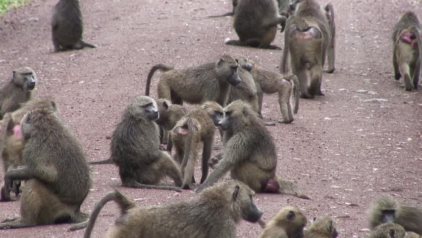 group of Wild Baboon Monkey in African Botswana savannah  - HD stock footage clip