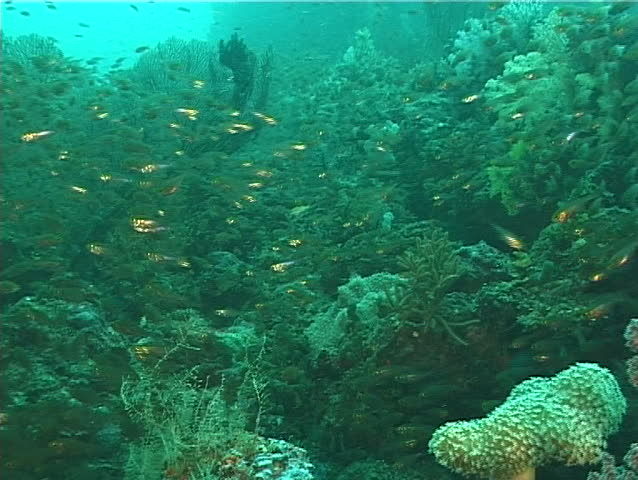 Golden sweepers swimming and schooling, Parapriacanthus ransonneti, UP6671 #19509613
