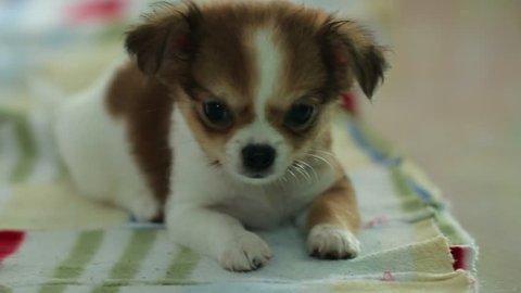 Chihuahua -Chihuahua cute