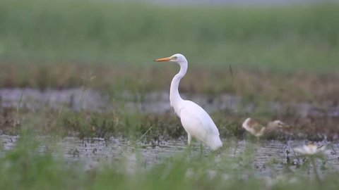 great egret fishing in the morning