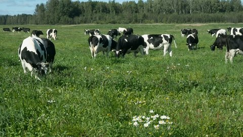 Group of Grazing Cattle On Stock Footage Video (100% Royalty