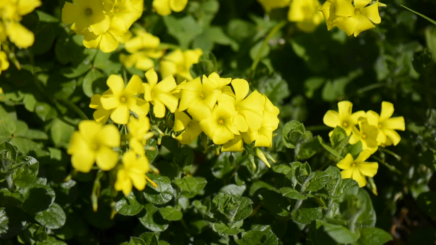 Great Yellow Woodsorrel Stock Video Footage 4k And Hd Video Clips