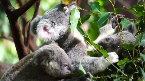 Three koala eat leaf on tree